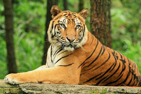 """Phân tích bài thơ Nhớ Rừng Qua hình tượng con hổ """" nhớ rừng"""" Thế Lữ đã gửi gắm điều gì ?"""